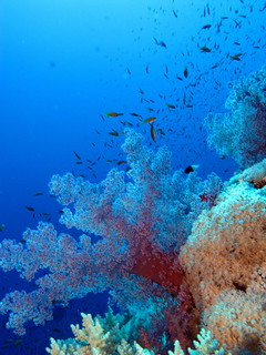 Soft corals and fish at Daedalus Reef, Red Sea, Egypt #SCUBA   by Derek Keats