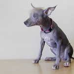 Abby Rose the Adoptable Mexican Hairless