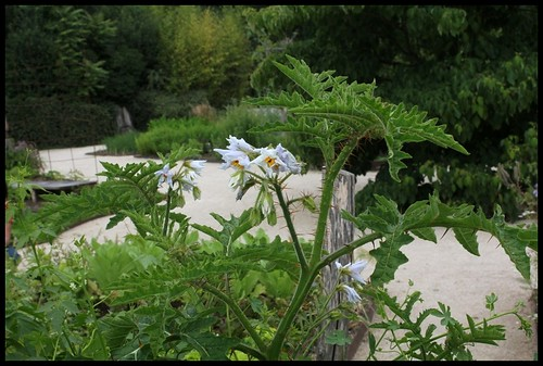 (41) Le potager de couleurs de Chaumont-sur-Loire 2012 22337445070_73ee3df964