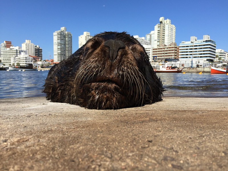A South American Fur Seal, Yate Club, Punta del Este, Uruguay.