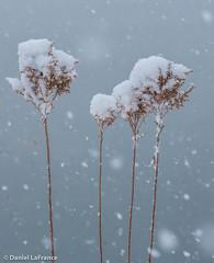 Snow Catchers (DOL-A-7499)