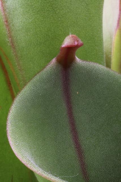 Heliamphora species