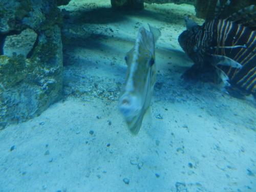 fish aquarium flat northcarolina thin filefish atlanticbeach orangefilefish pineknollshores northcarolinaaqauriumatpineknollshores northcarolinaaqaurium aluterusschoepfi