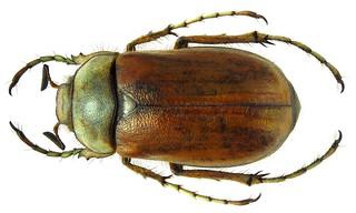 Rhizotrogus punicus Burmeister, 1855