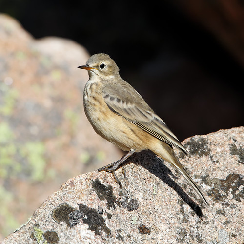 American Pipit | by dcstep