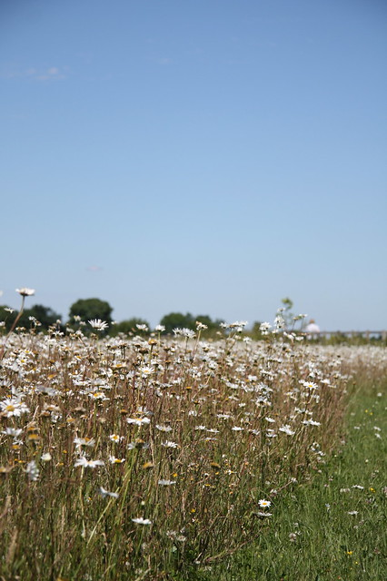 Daisies at Ickleford burial ground