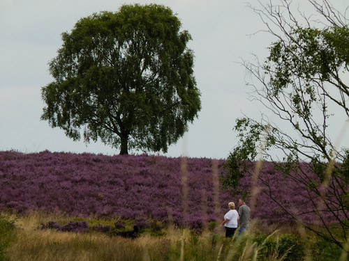 Heather in flower on Cannock Chase