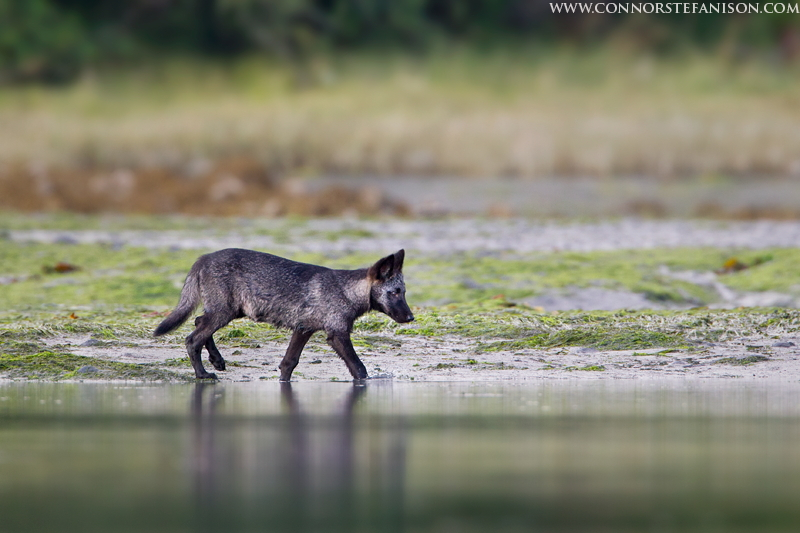 Coastal Grey Wolf Pup
