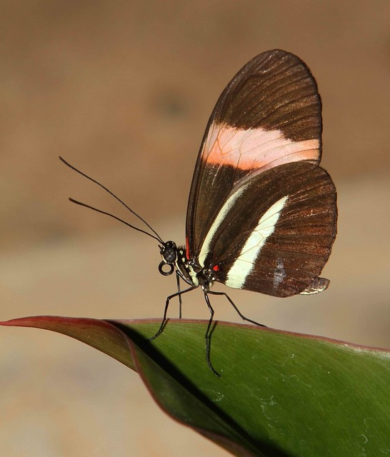 Crimson-patched Longwing (Heliconius erato)