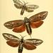 Sammlung neuer oder wenig bekannter aussereuropäischer Schmetterlinge. Bd.1.
