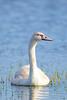 Immature Mute Swan by Brian E Kushner