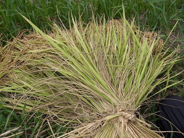 <p>e)刈った稲を束ねます。</p>