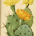 The Cactaceae : descriptions and illustrations of plants of the cactus family v.1