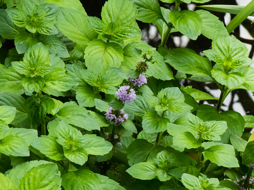 Water peppermint with a flower