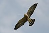 Mississippi Kite  [Ictinia mississippiensis] by mesquakie8