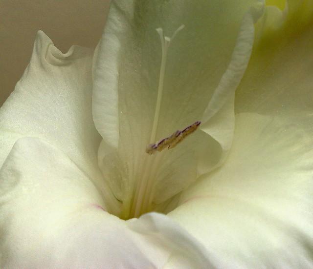 Weisse Gladiole