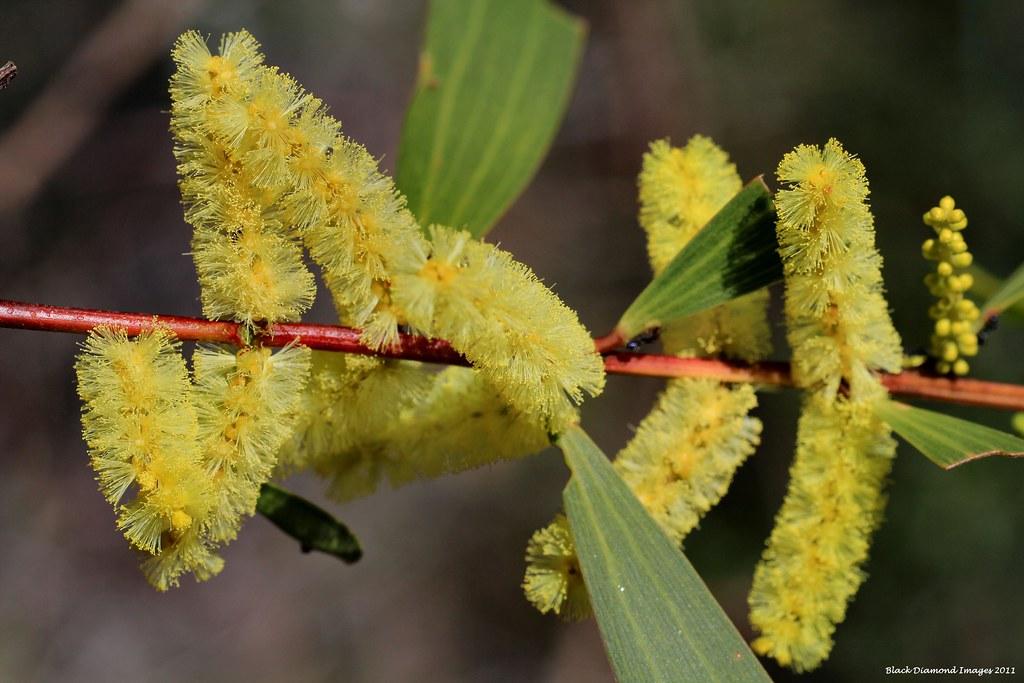 Acacia Sophorae Coastal Wattle Copyright All Rights Re Flickr