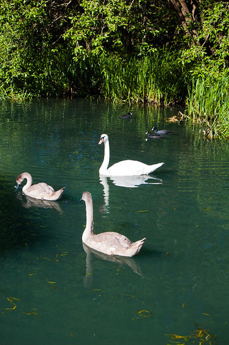 Family of swans, Birmingham canal
