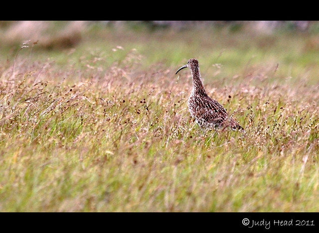 Curlew On The Moors To Newsham, Swaledale