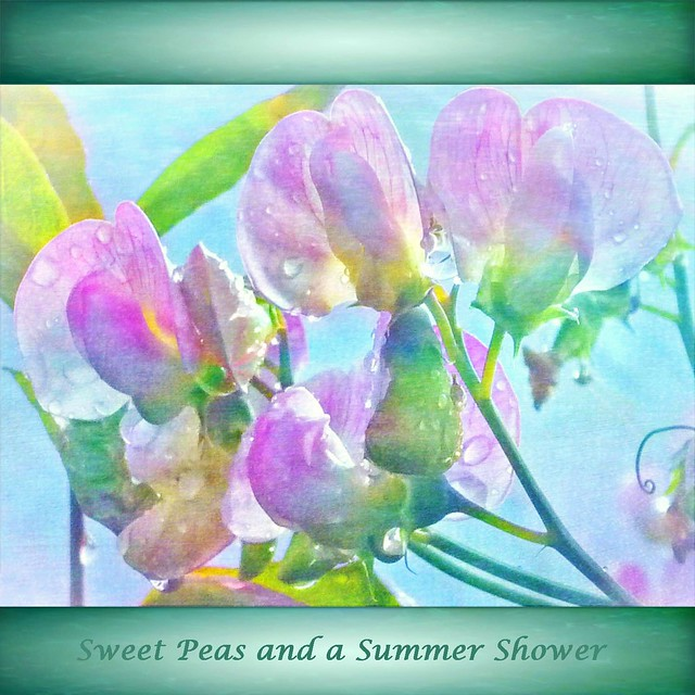 Sweet Peas and a Summer Shower