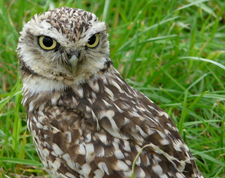 Athene cunicularia - burrowing owl | by e³°°°
