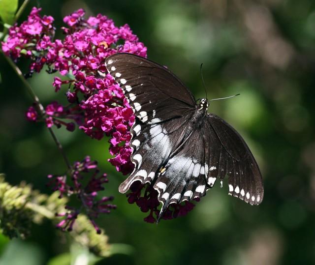 Papilio troilus on Buddleia