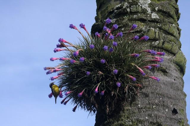 Sebinho (cambacica) em touceira de Tillandsia aeranthos