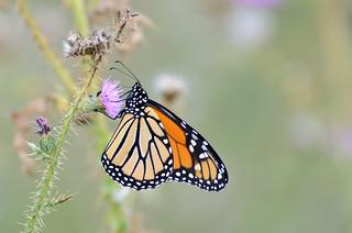 Monarch | by Johnath