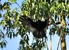 Greater Yellow-headed vulture by Andrew Snyder Photography