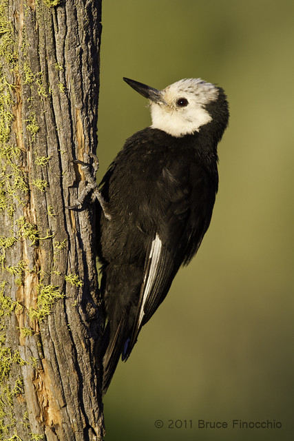 Female White-headed Woodpecker On Pine Branch