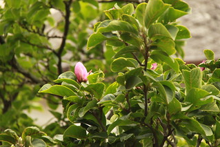 Magnolie la a doua inflorire | by bortescristian