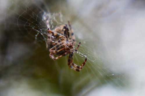 Fat Cross spider