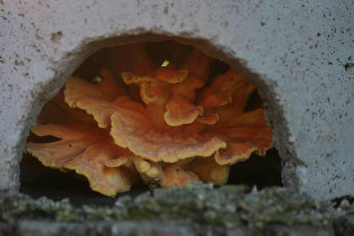Chicken of the Woods - Wild Mushroom | by Virtualdistortion