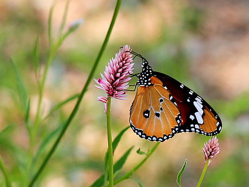 africa macro canon butterfly monarch namibia canon70200f4l autofocus southernafrica plaintiger africanmonarch karibib eos7d ringexcellence