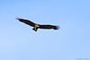 Gavilán Zamuro / Zone-Tailed Hawk (Buteo albonotatus) ♂ by Erick Houli