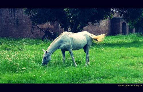 pakistan horse fort eating kitlens pony cannon 1855mm punjab lahore sher d500 hadeed cs5 mygearandme gettyimagespakistanq12012