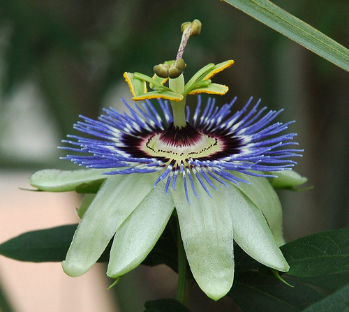 Passion Flower | by Geekly
