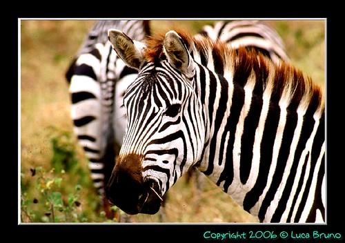 TZ 98 Zebra