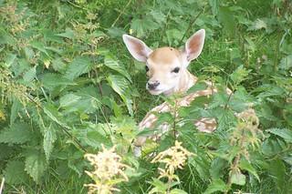 little deer | by ynskjen
