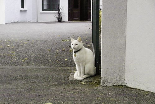 White cat guarding the entrance | by infomatique