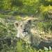 lion cub by piglicker