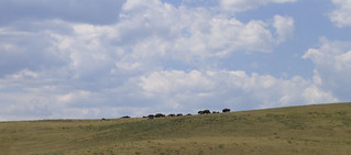 Bison from Afar | by mamamusings
