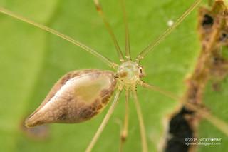 Daddy-long-legs spider (Metagonia cf. maldonado) - DSC_2076
