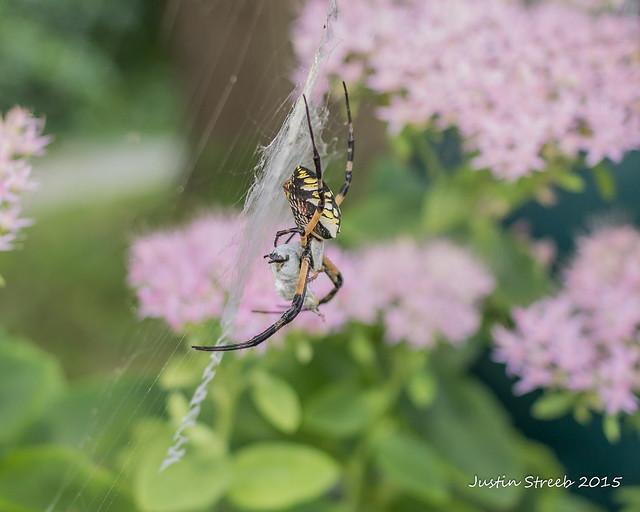Black & Yellow Garden Spider 1