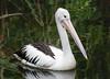 Australian Pelican (Pelecanus conspicillatus).03 by Geoff Whalan