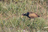 Bronze-winged Jacana (Metopidius indicus) by Ron Winkler nature