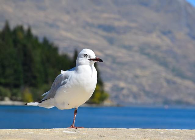 Où la patte? , Mouette de Buller, Queenstown, NZ