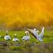 Bar-headed Geese by stunningphotosofpk