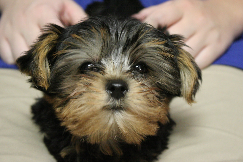 Morkie | Female Morkie for sale at Pets 'N' You in Red Lion