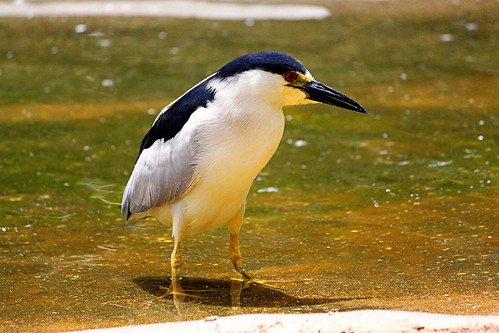 Black-crowned Night Heron. | by Alexandra Rudge. Peace & love!